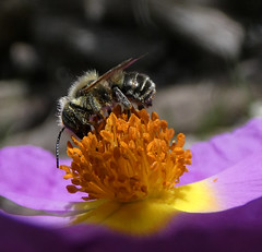 Megachilidae bee for ID (bego vega) Tags: hymenoptera himenoptero apoidea megachilidae megaquílido abeja bee solitaria solitary cistus albidus flower flor jara madrid vf macro bego vega bv begovega
