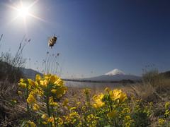 16377 (simao2) Tags: 魚眼 fisheye 河口湖 山梨 honeybee ミツバチ 菜の花 mtfuji 富士山 富士