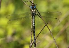 Swamp Darner (Epiaeschna heros) Male (Rezamink) Tags: epiaeschnaheros swampdarner dragonflies odonata usa