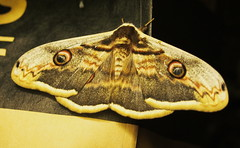 Surprise evening guest (VinZo0) Tags: papillon butterfly guest nignt brown nature eyes insectes spring evening soir