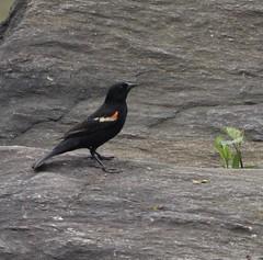 Red Winged Blackbird (gmorient1@aol.com) Tags: birds centralpark newyork springmigration