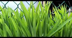 Green (239/365) #green #spring #hope #mtl #365project #365 #project365 (jfournierphoto) Tags: ifttt instagram p365v2