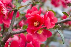 IMG_0354 (vargabandi) Tags: chaenomeles vargabandi garden red blossom
