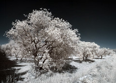Olive trees (Lolo_) Tags: infrared provence lançon france oliviers champ field ir infrarouge olive