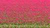 DSC_2970 (Omar Rodriguez Suarez) Tags: bloemenstreek tulips bulbs tulipanes bulbos flowers flores