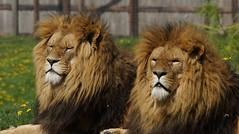Yorkshire Wildlife Park  17.04.2017 362 (SnapAndy1512) Tags: yorkshirewildlifepark17042017 yorkshirewildlifepark lion lions bigcats animals zoo