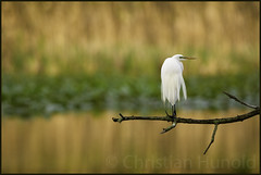 great egret (Christian Hunold) Tags: greategret egret heron wadingbird bird bokeh silberreiher morning johnheinznwr philadelphia christianhunold
