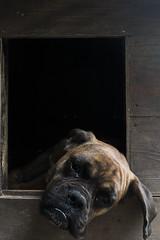 16/52 - Laziness (Valentina Conte) Tags: porthos dog boxer pet animal portrait canon100d rebelsl1 valentinaconte 52weeksfordogs 1652 dogsbed cuccia bored