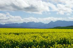 IMGP6442 (Lor Venise) Tags: export fiori fleurs flowers natura nature southafrica sudafrica