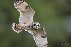 Possing for the camera ( Explored @ 43 ) (raytaylor77) Tags: bop flight hunting shortearedowl stairring wildlife bird diving feathers nature possing wild wiltshire wings