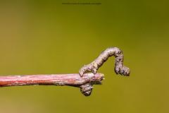 twig (xergophoto) Tags: twing nikond610 sigma105f28 xergophoto green nature macro magyarország hungary colors sunset d ngc rovar n