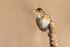 Marsh Wren (Matt F.) Tags: marsh wren nature