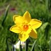 CDN3232 (Fransang) Tags: daffodil daffodils narcis narcissen
