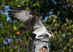 The Feast Begins (PeterBrannon) Tags: bird birdofprey fish florida nature osprey ospreycatchingfish pandionhaliaetus raptor sunset wildlife
