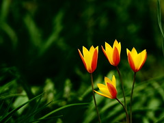 Wild Tulips (Will.Mak) Tags: willmak forestparkgreenhouse queens newyork newyorkcity nyc olympus penf olympusm45mmf18 45mm f18 wild yellow orange tulip red green