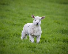 Larry (Anthony de Schoolmeester) Tags: lamb sheep spring livestock wales animals wooly minty dinner onlyjoking green grass fujixt2 fujinonxf1004004556rlmoiswr