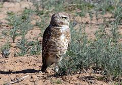 Burrowing Owl (Athene cunicularia); Los Lunas, NM [Lou Feltz] (deserttoad) Tags: nature newmexico bird wildbird raptor owl owlet desert behavior migration