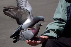 Pet Pigeons at Our Place Shelter (professional recreationalist) Tags: brucedean professionalrecreationalist victoriabc ourplace shelter poor poverty homeless homelessness housing crisis pigeon pigeons bird birds feed police cops pigs vicpd victoriapolice harass harassment