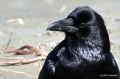 DSC_0292 (rachidH) Tags: birds crow raven corbeau corneille oceanbeach pacific ocean sanfrancisco california ca commonraven corvuscorax grandcorbeau corvus corvids corvidae rachidh nature