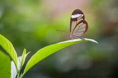 glasswing (Bart Hardorff) Tags: 2017 barthardorff orchideeã«nhoeve thenetherlands april butterflygarden vlindertuin luttelgeest flevoland nederland gretaoto glasvleugelvlinder glasvlinder glasswingedbutterfly
