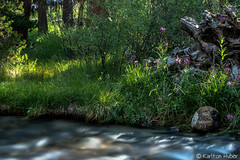 Creekside Morning Light (www.karltonhuberphotography.com) Tags: 2016 california creek easternsierra fallentree flora flowers flowingwater forest forestfloor grasses karltonhuber light longexposure morninglight peaceful relaxing river smoothwater spiritual stream treeroots trees vegitation watersedge wildflowers