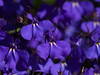 2017-121 Purple Lobelia (straehle) Tags: 100mmf28 canon5dmkiii project365 geocountry camera:make=canon exif:aperture=ƒ40 geostate exif:lens=ef100mmf28lmacroisusm geocity exif:model=canoneos5dmarkiii exif:focallength=100mm geolocation exif:isospeed=200 camera:model=canoneos5dmarkiii exif:make=canon project365050117 naturemasterclass