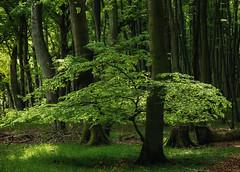 Maigrün (Petra Runge) Tags: baum wald grün natur frühling mai jasmundnationalpark rügen buchen mecklenburgvorpommern landscape nature forest wood green tree licht ligth world heritage national park beech germany