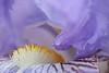 Au coeur de l'iris1 (anne_gbt) Tags: iris macro flowerthequietbeauty