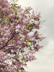 lilacs (lulu bubbles) Tags: pink flowers trees tree nature spring pretty purple lilac lilacs
