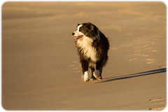 Border Collie on the Beach (waiting for its master to return from early-morning body surfing) (Craig Jewell Photography) Tags: blackandwhite beach waiting weekend australia newsouthwales boomerangbeach filename20130518084602x0k0364cr2iso1250f40secevcanoneos1dmarkiv100300mm322023s1523232e1002013