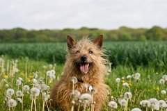 21/52 - Happy among the Dandelions *Explore* (Dogloverlou) Tags: flowers smiling happy walk country posing missy fields dandelions 2013 52weeksfordogs fluffyheads findmeonipernitycom