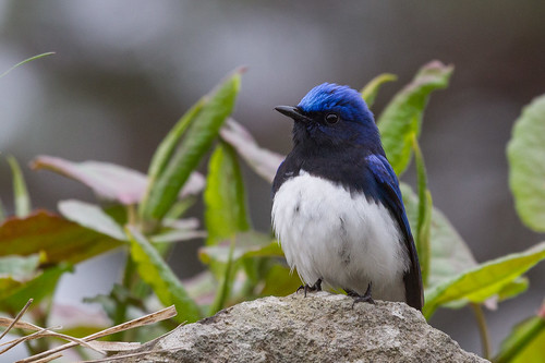 B&W on a rock - Blue and White Flycatcher in the local park.............