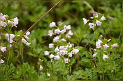 Wild flower, cuckooflower or lady's smock (bobspicturebox) Tags: flowers wild dog sun cup robin evening buttercup tea song sparrow tulip garlic mustard foxes flytipping creeping thrush ramson cuckooflower afternnoon soapwort vixon jackinthehedge