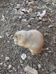 Prairie Dog (Lady Muir) Tags: dog dogs zoo rodent squirrel rat eating ground mo eat chipmunk missouri rats springfield prairie rodents sanctuary prarie