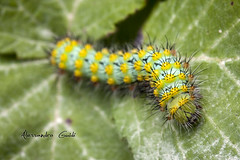 Caterpillar (Alessandro Guidi 1985) Tags: macro insect natura caterpillar insetto alessandro bruco anture guidi