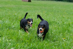 Sage & Dala (Thaddz) Tags: dog puppy sennenhund entlebucher entlebuchermountaindog