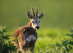 Roe Deer Buck (Alan MacKenzie) Tags: nature sussex brighton wildlife deer antlers buck roedeer southdowns roedeerbuck