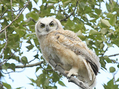 I'm looking at you (pamfromcalgary) Tags: calgary bird nature alberta greathornedowl