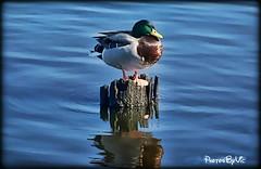 Afternoon Nap (Photos By Vic) Tags: reflection nature water duck northcarolina newbern