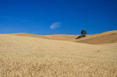 A wheat field near Raddusa - Sicily - Sicilia (Giuseppe Finocchiaro) Tags: summer panorama landscape estate wheat sicily sicilia grano wheatfield campodigrano