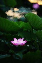 Lotus 荷花 (MelindaChan ^..^) Tags: china pink light plant flower green nature leaves leaf lotus blossom bokeh pinky petal mel melinda 花 荷花 荷 shunde makinon reflexlens 300mmf56 順德 hppt 順峰山公園 chanmelmel