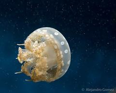 Medusa / Aguamala / Jellyfish (jagsayago) Tags: water agua jellyfish medusa montereyaquarium aguamala fotoart2013q10