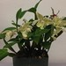 Dendrobium Aussie Chip – Sandi Sanquist