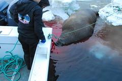 Walrus Hunt 8_5_13 1 298 (efusco) Tags: ocean sea ice alaska native arctic butcher hunter beaufort walrus hunt midnightsun iceburg floe inupiat inupiaq aivik femalewalrushunt85131