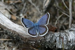 And all you gotta say (raggi di sole) Tags: blue england male nature butterfly insect lepidoptera heathland lycaenidae plebejusargus silverstuddedblue chobhamcommon