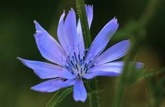 Leaning on (Sanunas) Tags: flowers summer plants flores nature fleurs seasons blumen fiori chicoryflower fantasticnature