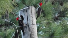 Pica-Paus 2 - Woodpecker (Alex Brammmann) Tags: brazil bird brasil woodpecker ave paulo sao casal sorocaba passaro picapau picapaus
