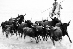 bw379 (Nadia Isakova) Tags: trip travel wild summer vacation blackandwhite bw lake holiday france tourism nature water monochrome animal animals june horizontal cowboys race french landscape one mono blackwhite cowboy holidays nadia europe mediterranean european tour cattle symbol group sightseeing lakes horns running run bull bulls chase destination leisure sight horn breed iconic herd 1person guardian westerneurope attraction attractions chasing gallop camargue guardians herder galloping southfrance bouchesdurhone herders traveldestinations blackbulls nadiaisakova tausurscamargue