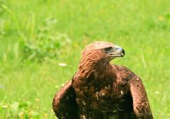 Eagle Guard (johan.pipet) Tags: wild summer bird history nature animal festival canon devin europe eagle slovensko slovakia fest palo bratislava bartos vtak orol barto