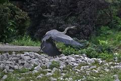 Flight! (iloverealestate) Tags: ontario canada greatblueheron ardeaherodias lynnriver gettyimagescontributor